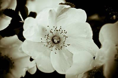 Wild Rose Photograph - Wild Roses by Frank Tschakert