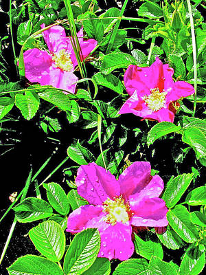 Photograph - Wild Roses Near Cannon Beach In Ecola State Park, Oregon by Ruth Hager