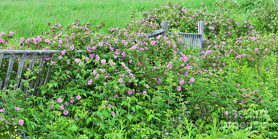 Photograph - Wild Roses Panorama by Alan L Graham