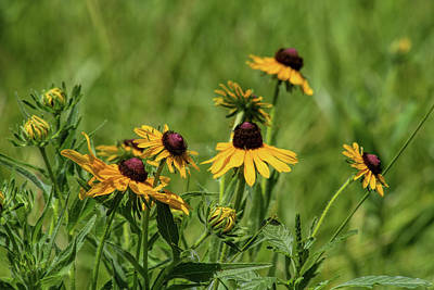 Photograph - Wild Rudbeckia by Alana Thrower