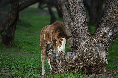 Photograph - Wild Salt River Foal Grazing by Dave Dilli