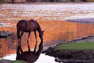 Wild Salt River Horse At Saguaro Lake Art Print