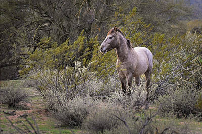 Photograph - Wild Salt River White Horse by Dave Dilli