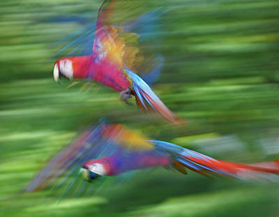 Photograph - Wild Scarlet Macaws In Flight by Tim Fitzharris