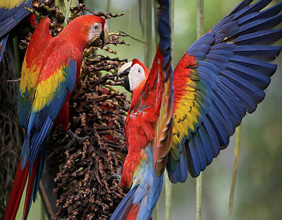 Photograph - Wild Scarlet Macaws  by Tim Fitzharris