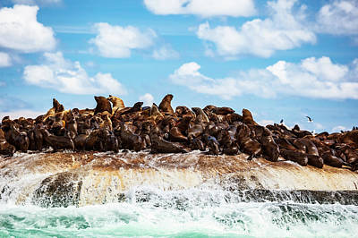 Photograph - Wild Sea Lions On The Island by Anna Om