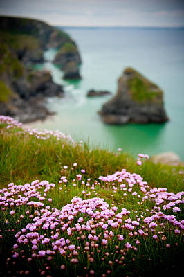 Wild Sea Pinks In Cornwall Art Print
