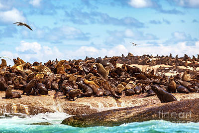 Photograph - Wild Seals On The Rocks by Anna Om