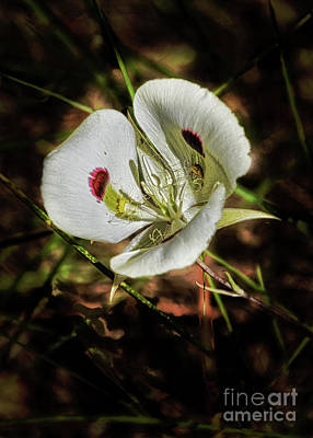 Photograph - Wild Sego Lily by Robert Bales