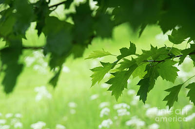 Photograph - Wild Service Tree Leaves by Tim Gainey