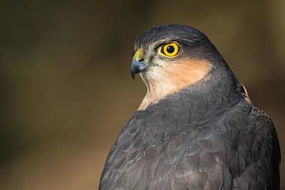 Sparrowhawk Photograph - Wild Sparrowhawk by Izzy Standbridge