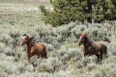 Photograph - Wild Stallion And Mare by Belinda Greb