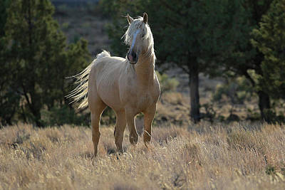 Photograph - Wild Stallion Of The Steens by Steve McKinzie