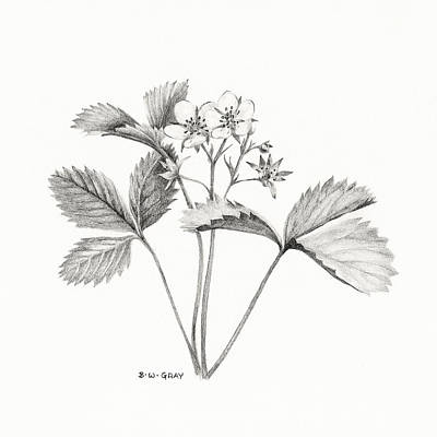 Strawberries Drawing - Wild Strawberry Drawing by Betsy Gray