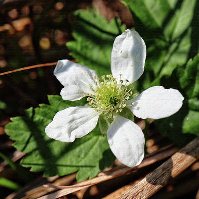Photograph - Wild Strawberry by Scott Kingery