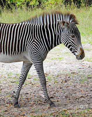 Photograph - Wild Stripes II by Mary Haber