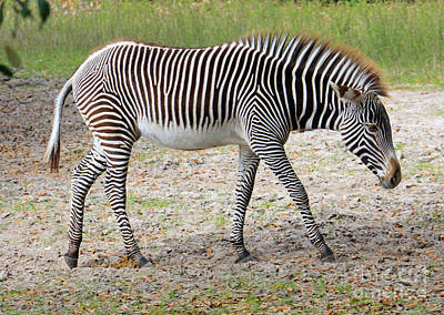 Photograph - Wild Stripes by Mary Haber