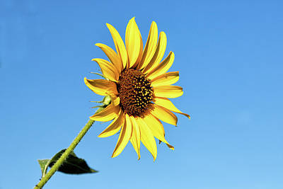 Photograph - Wild Sunflower Against A Blue Sky by Tony Hake
