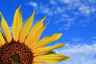 Nature Photograph - Wild Sunflower by Shane Bechler