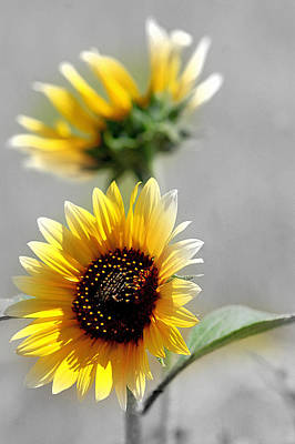 Photograph - Wild Sunflowers In White by Kevin Munro