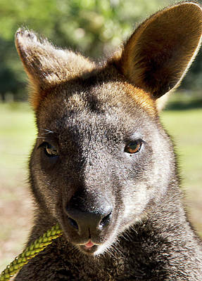 Photograph - Wild Swamp Wallaby by Miroslava Jurcik