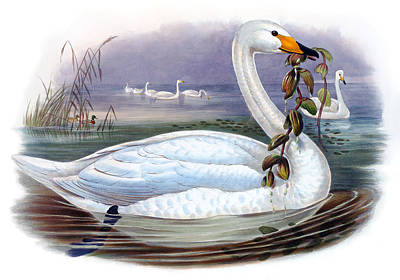 Wild Orchards Painting - Wild Swan Antique Bird Print The Birds Of Great Britain by Orchard Arts
