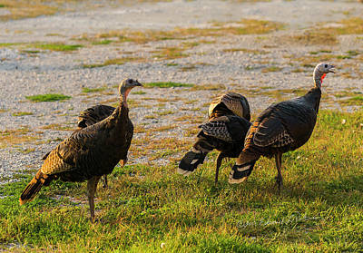 Photograph - Wild Thanksgiving Turkey by Edward Peterson