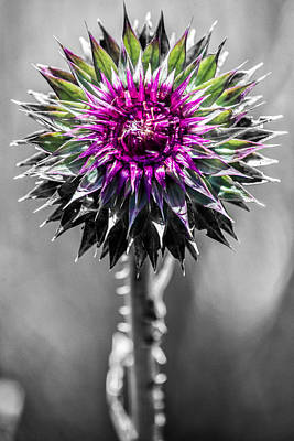 Photograph - Wild Thistle Bloom by Vic Bouchard