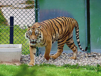 Photograph - Wild Tiger At The London Zoo by Merton Allen