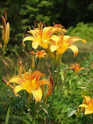 Photograph - Wild Tiger Lilies by Brett Winn
