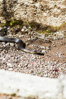 Poison Photograph - Wild Tiger Snake by Jorgo Photography - Wall Art Gallery