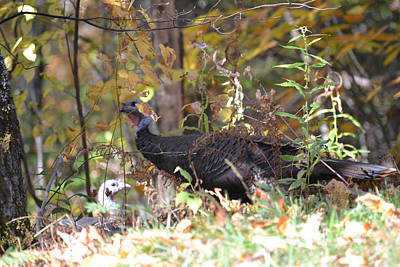 Photograph - Wild Turkey Along The Blue Ridge Parkway by rd Erickson