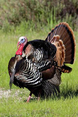 Photograph - Wild Turkey Display by Mark Miller