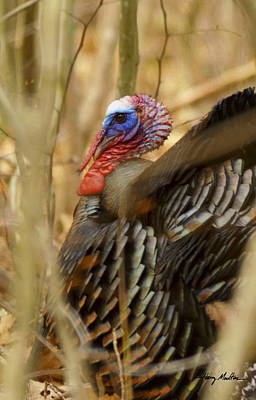 Photograph - Wild Turkey by Harry Moulton