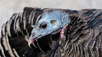 Photograph - Wild Turkey In The Neighborhood by Debra Martz