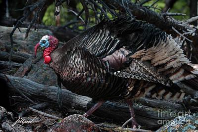 Photograph - Wild Turkey by Jim Fillpot