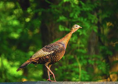 Photograph - Wild Turkey Profile On Rooftop by Jeff at JSJ Photography