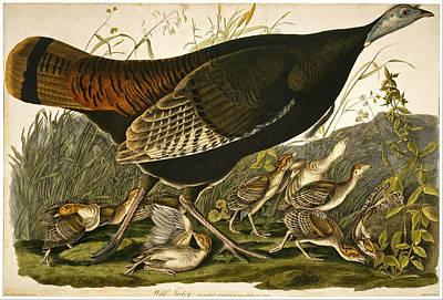 Wild Turkey Drawing - Wild Turkey by William Lizars