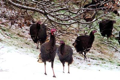 Gelid Photograph - Wild Turkeys  by Jeff Swan