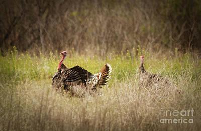 Wild Turkeys Art Print by Robert Bales
