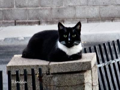 Photograph - Wild Tuxedo Cat by Sadie Reneau