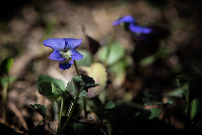 Photograph - Wild Violet by Linda Shannon Morgan