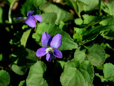 Photograph - Wild Violets by David Dunham