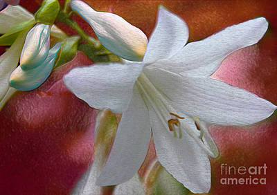 Photograph - Wild White Hosta by Nina Silver