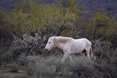 Photograph - Wild White Salt River Horse by Dave Dilli