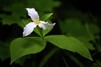 Photograph - Wild White Trillium by Penny Meyers
