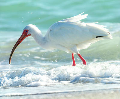 Ibis Photograph - Wild Winds by Betsy Knapp