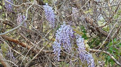 Photograph - Wild Wisteria by Charlotte Gray