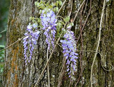 Photograph - Wild Wisteria Flowers by rd Erickson