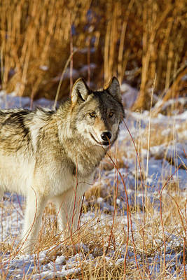 Photograph - Wild Wolf by Mark Miller